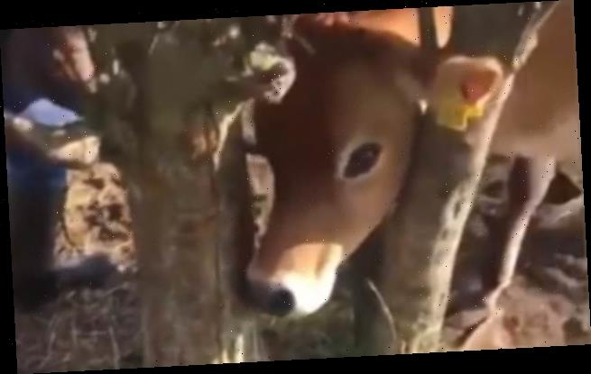 Dramatic moment cow is rescued by dog-walkers who cut tree down