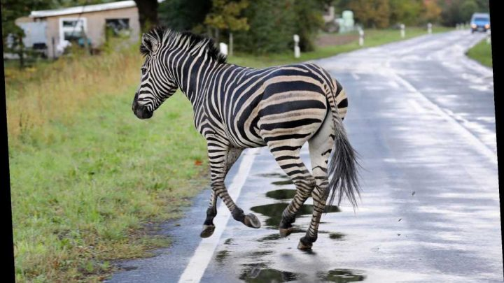 Zebra shot dead after escaping German circus and causing crashes
