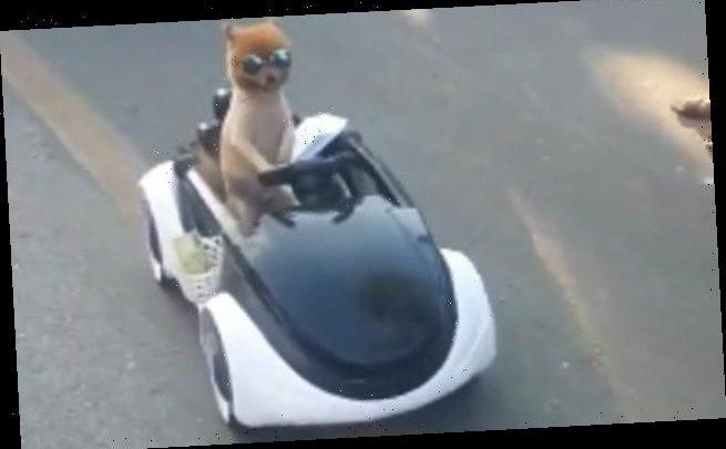 Dog wears sunglasses as it rides a miniature car in Thai market