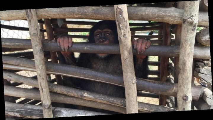 Battle to save chimp victims of bushmeat trade fuelled by UK demand