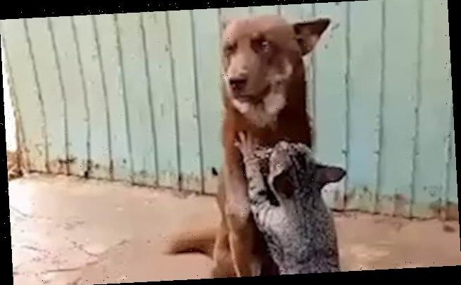 Kitty appears to be giving its dog pal a massage in Vietnam