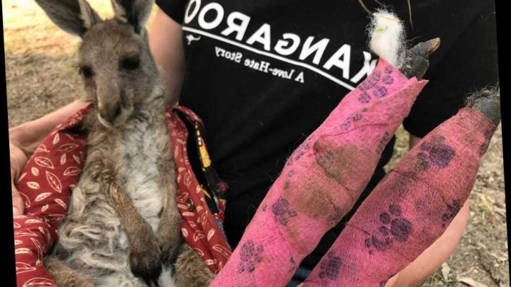 Kangaroo recovers with its burned feet in bandages as Australia's bush fires rage – The Sun