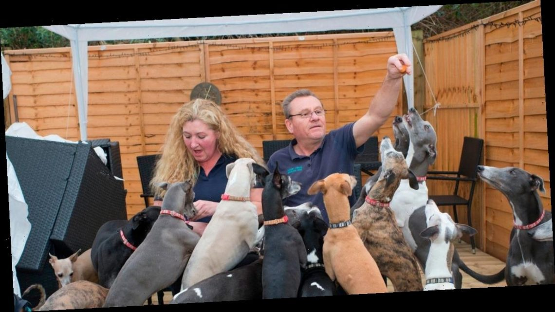Dog loving couple have 19 greyhounds – and their pack doesn't come cheap