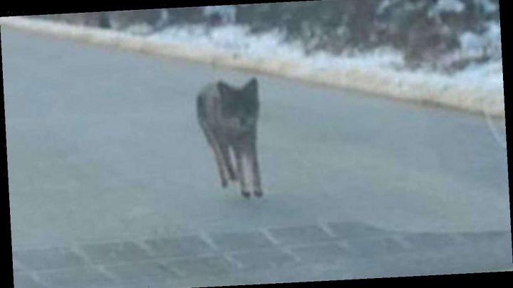 New Hampshire dad suffocates coyote with bare hands after it attacked toddler
