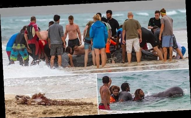 Beached whale is saved by good samaritans only to be eaten by sharks