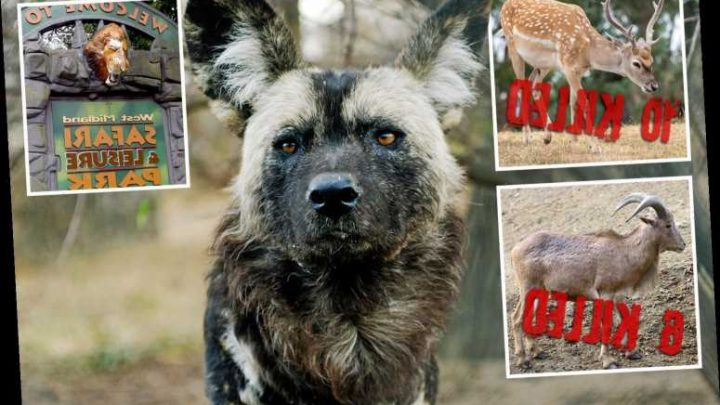Pack of African wild dogs slaughter 16 sheep and deer after escaping their safari park enclosure – The Sun