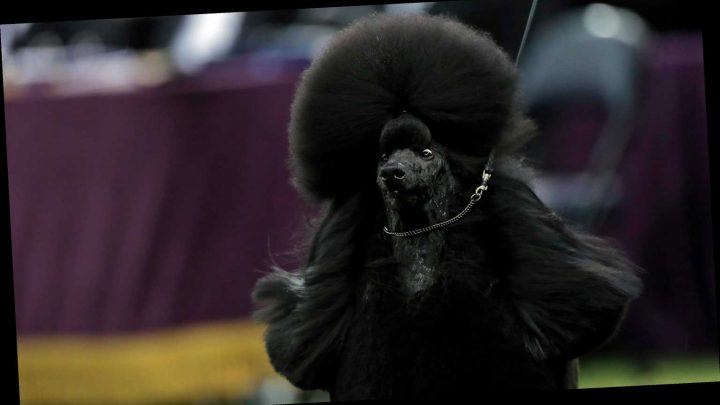 Siba the Standard Poodle wins Best in Show at Westminster Dog Show