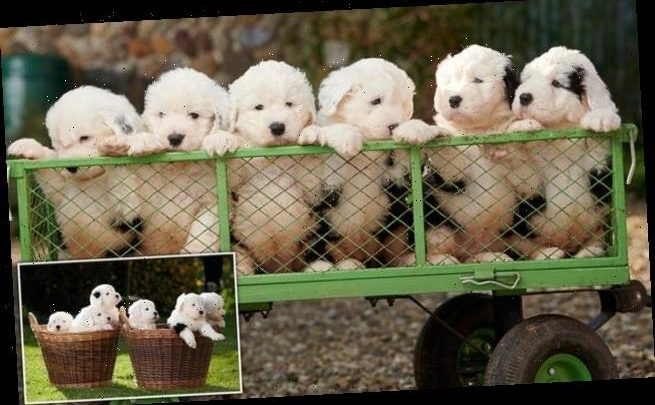 Dulux announces arrival of six puppies giving hope to Sheepdog breed