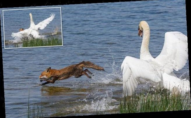 Furious swan chases fox into lake to protect the cygnets in her nest