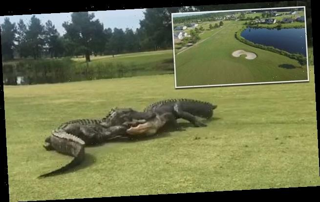Golfer films moment two alligators fight on South Carolina golf course