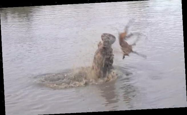 Hippo throws impala over its head in river after battling hyenas