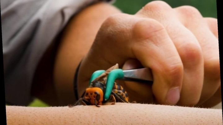 Extreme nature TV host is stung by a 'murder hornet' to show the 'searing pain' – The Sun