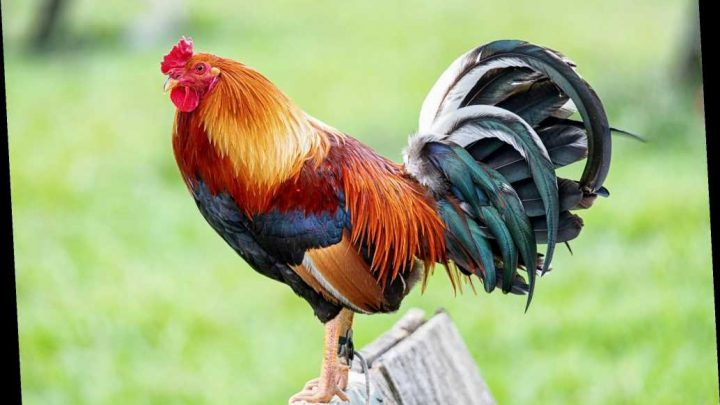 Man gouges neighbor's eyes out over loud rooster, sheriff says