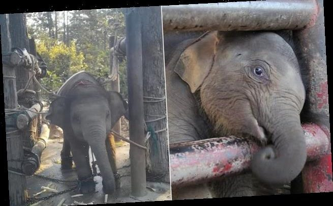 Footage shows trainers treating elephants cruelly in Thailand