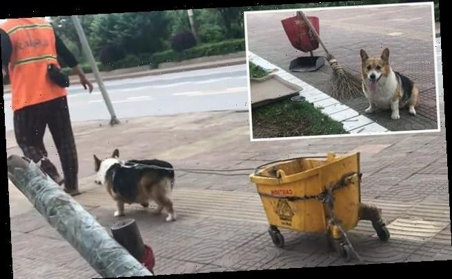 Pet corgi Duo Duo follows its street sweeper owner to work every day