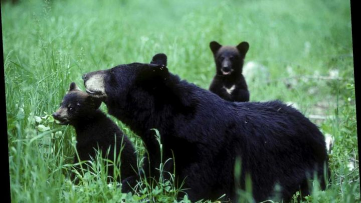 Trump Administration Finalizes New Rules Making It Easier to Kill Bear Cubs in Alaska