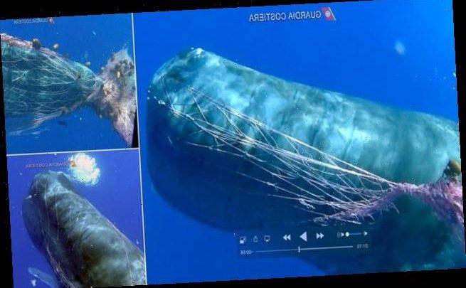 Heartbreaking moment giant sperm whale is caught in a fishing net