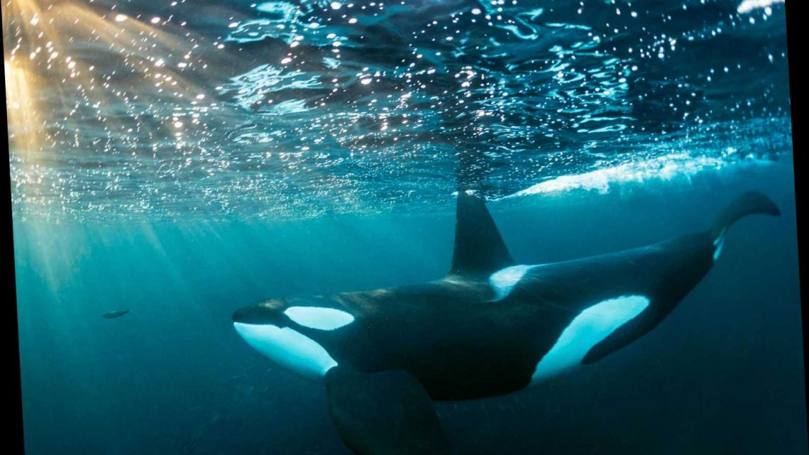 Orca Who Grieved By Carrying Her Dead Calf For 17 Days Is Pregnant Again