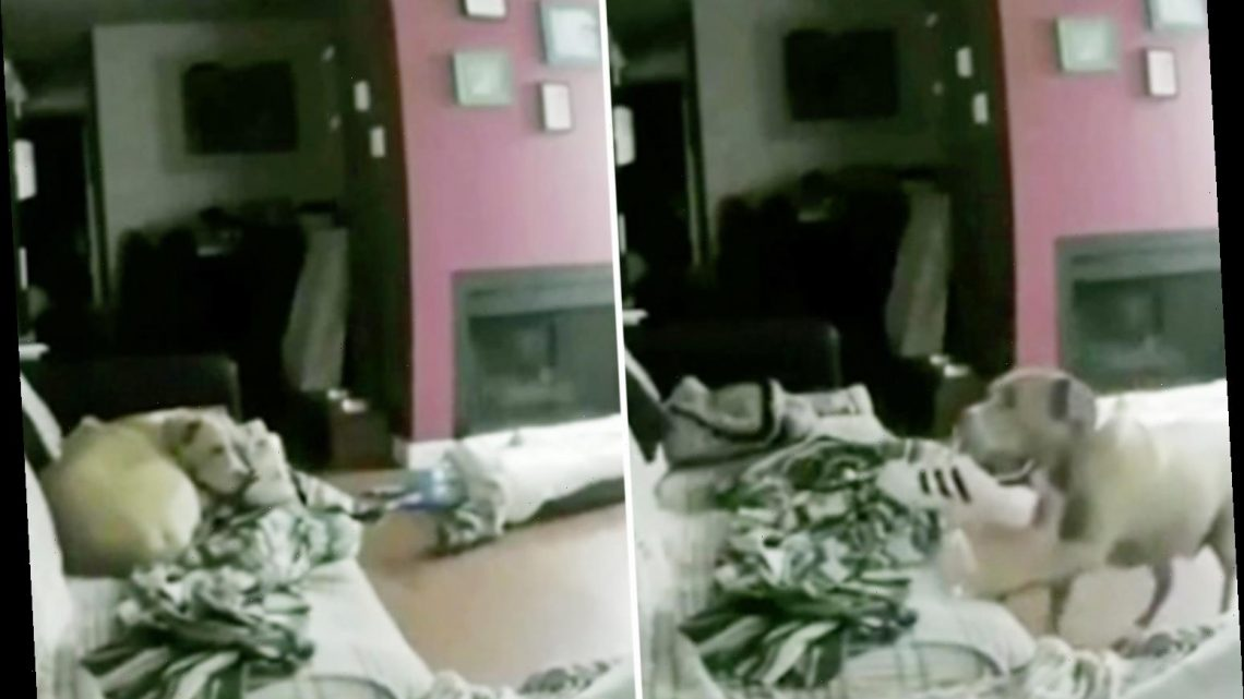 Dog lovers vow to never leave pets home alone again after watching clip of Staffie curled up on sofa with owner's shoe
