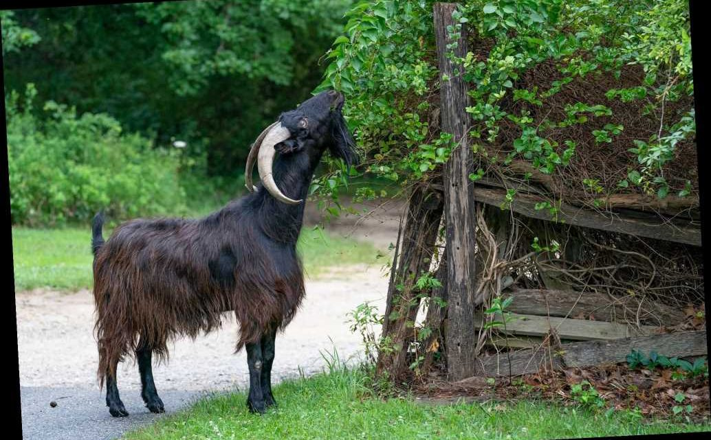Got grass? Goats are put to work as eco-friendly lawn mowers