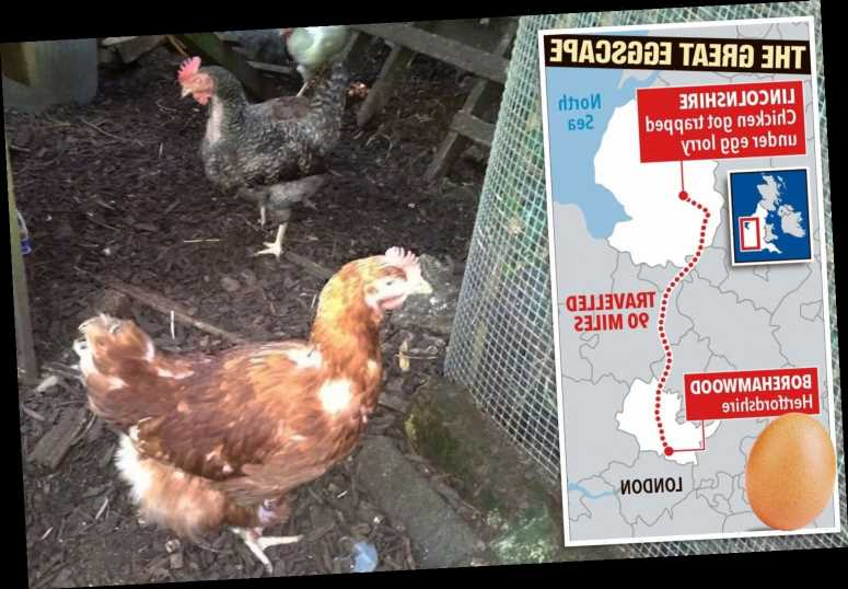 Hen survives 90-mile trip after getting stuck under an egg lorry trailer