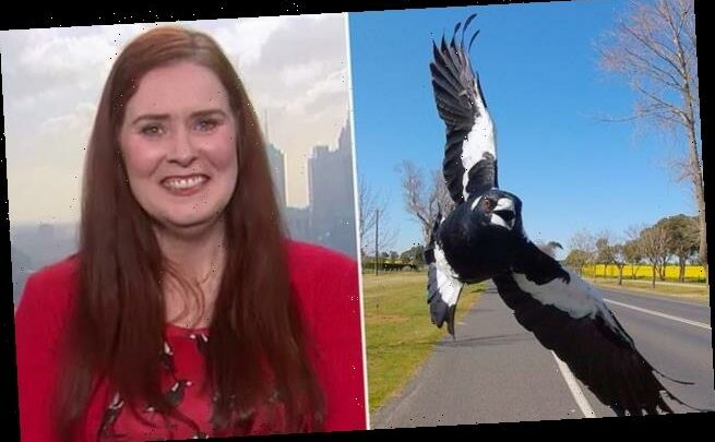 Ecologist says magpies AREN'T aggressive and know 'right or wrong'