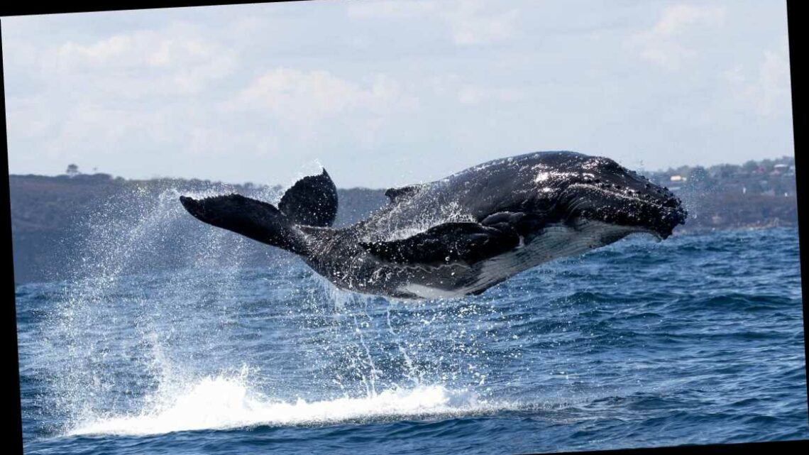 Adorable whale calf seen leaping for joy in heartwarming snap alongside his mum in Sydney Harbour