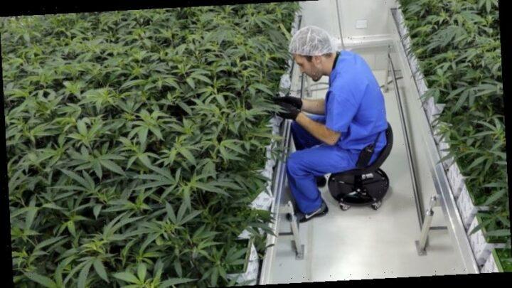 Reefer-endum? NZ's marijuana vote and Australia