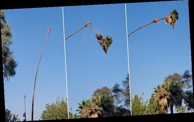 Man tries to trim a 100-foot palm tree flung across the sky