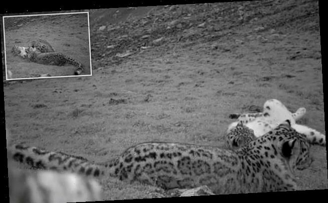 Rare snow leopards spotted at a Chinese forest park