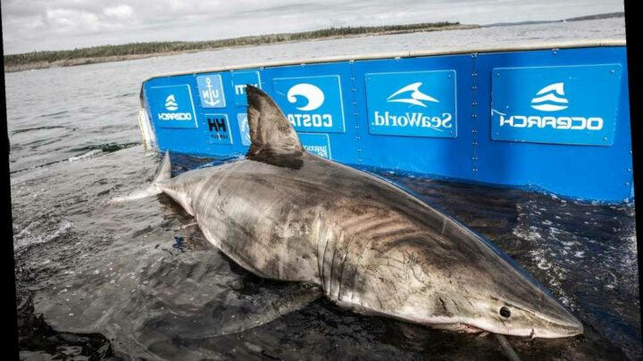 17-foot great white shark caught off Nova Scotia called the 'Queen of the Ocean'