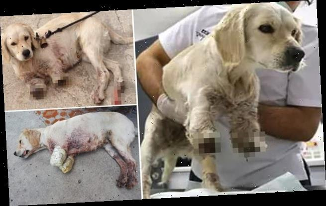 Dog has its front legs HACKED OFF by its Turkish owner