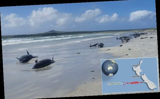 More than 100 pilot whales – plus dolphins – die in a beaching in NZ