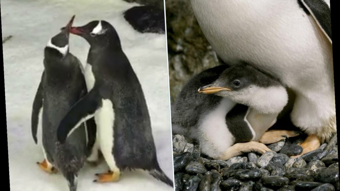 Gay penguin 'power couple' Sphen and Magic become dads for a second time after adopting another abandoned egg