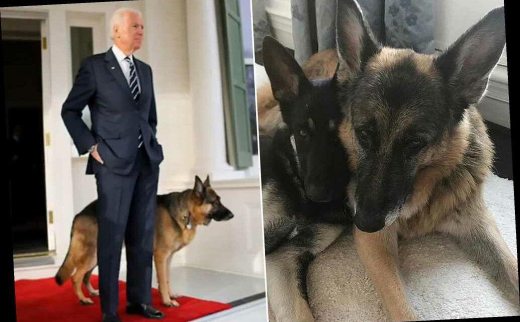 Joe Biden's dogs, Champ and Major, take social-media by storm