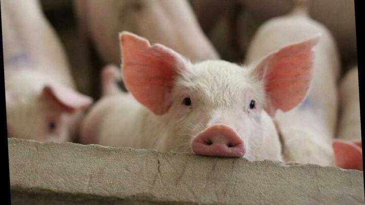 Person diagnosed with rare strain of swine flu in Canada