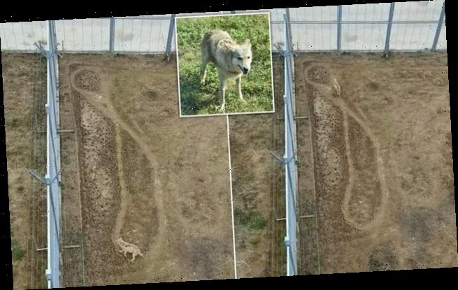 Wolf rejected by alpha male's pack walks figure-of-eight pattern