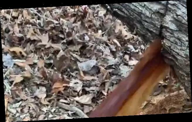 Workers are shocked when brown water pours from the trunk of a tree