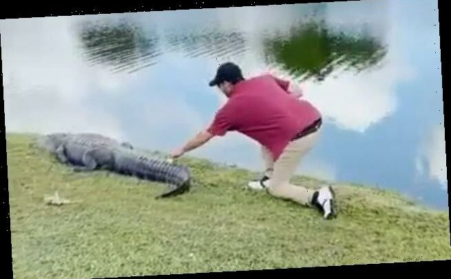 Golfer sneaks up and retrieves his ball from the tail of an ALLIGATOR