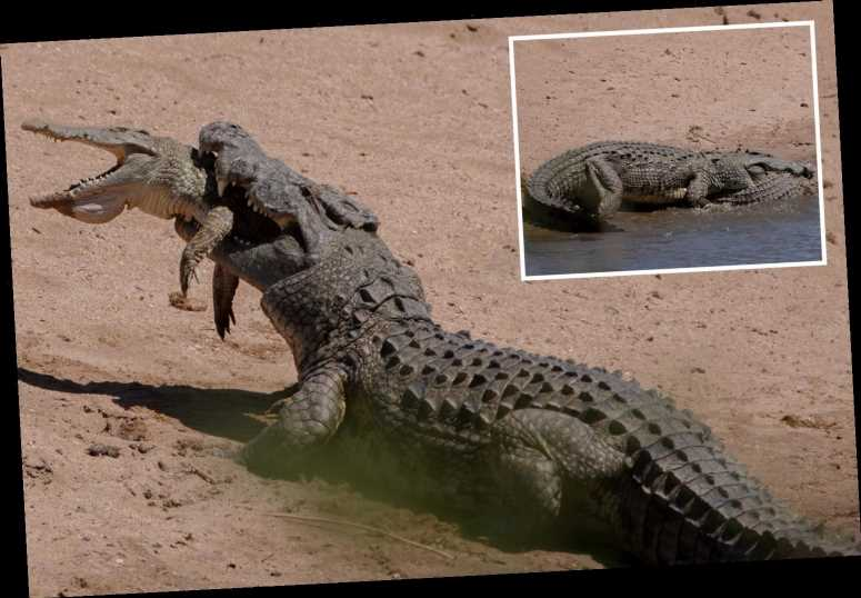 Incredible moment 13ft half-ton CANNIBAL crocodile EATS a youngster in South Africa