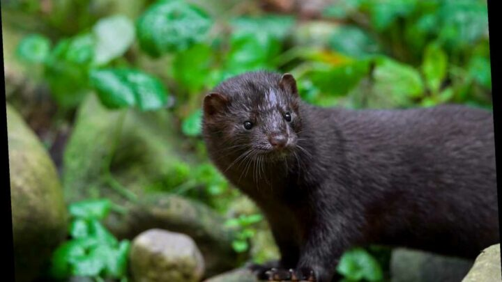 Mink in Utah is first wild animal to test positive for COVID-19