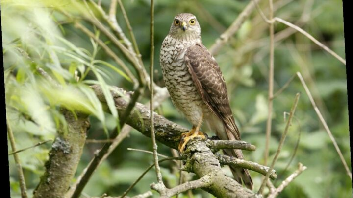 Sparrowhawk rescued after flying into woman's home, landing on Christmas tree