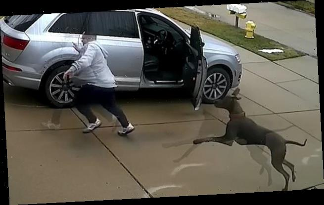 Great Dane ambushes terrified homeowner taking out his trash
