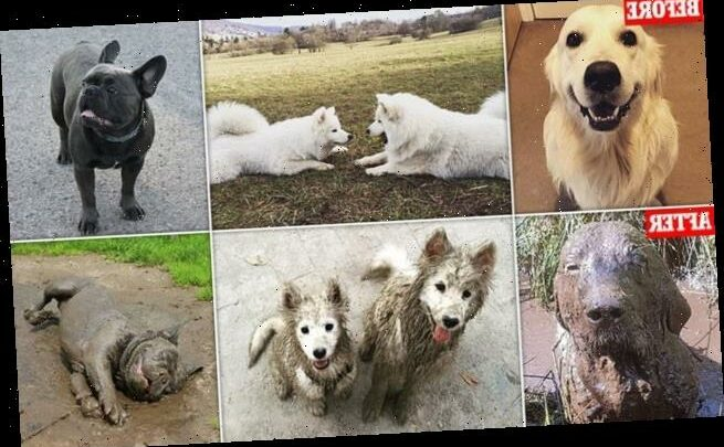 Dog owners share before and after pictures of their muddy dogs