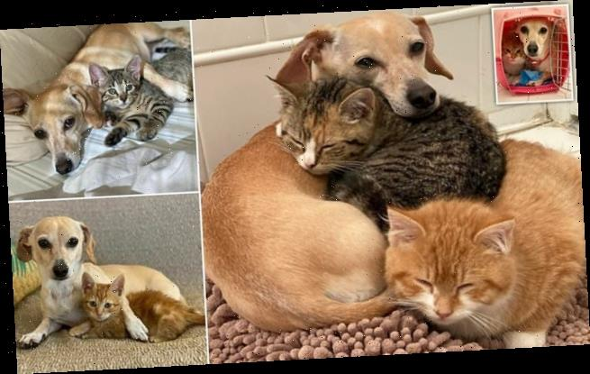 Dog called Kona adopts shy kittens and takes them under her wing