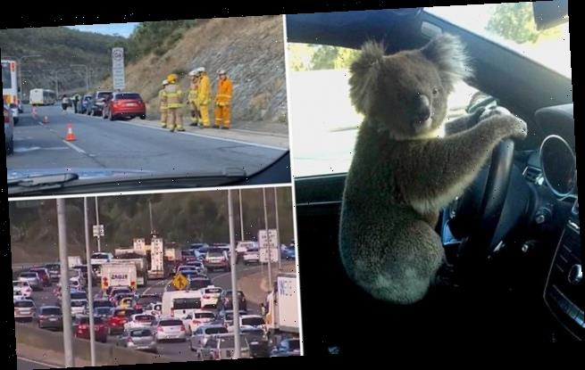Koala crawls onto driver's front seat after causing multi-car pile up