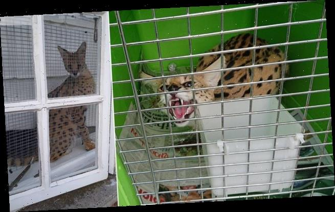 Man fined £4,000 for keeping an African wildcat as a PET at his home