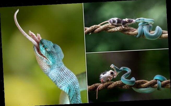 Curious mouse sniffs a blue viper… who promptly eats it