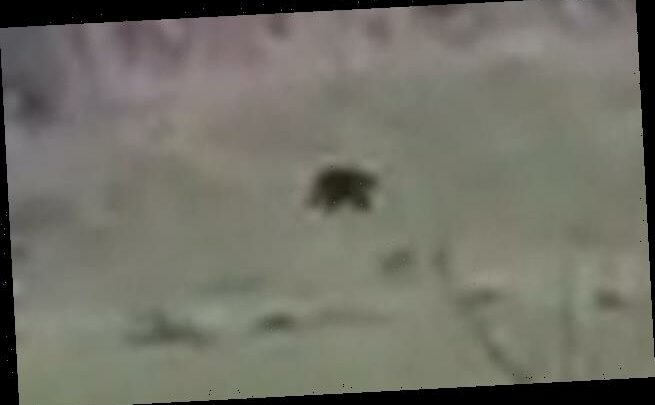 North Wales pumas? Latest footage shows 'massive' black cat