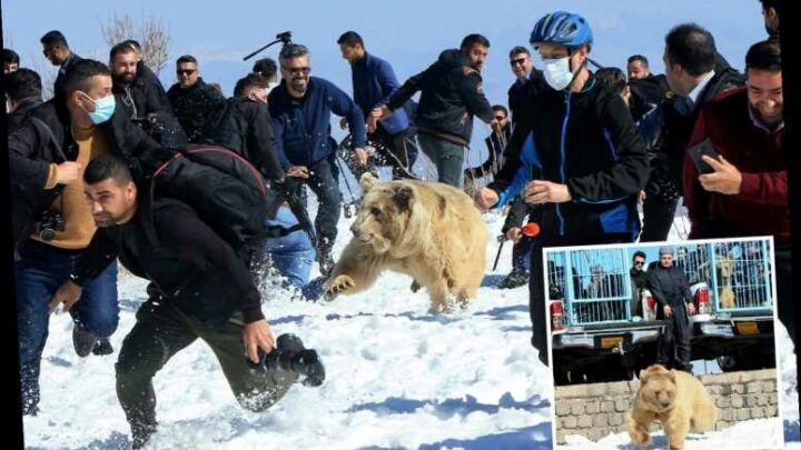 Six raging bears attack crowds moments after being released from their cages into the wild